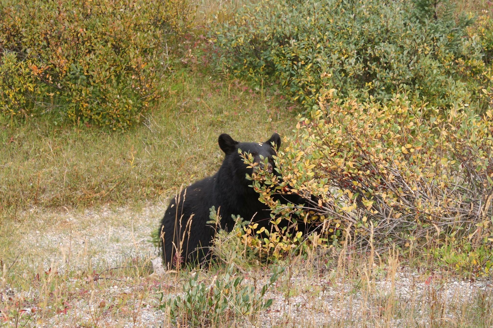 Bear Jasper National Park