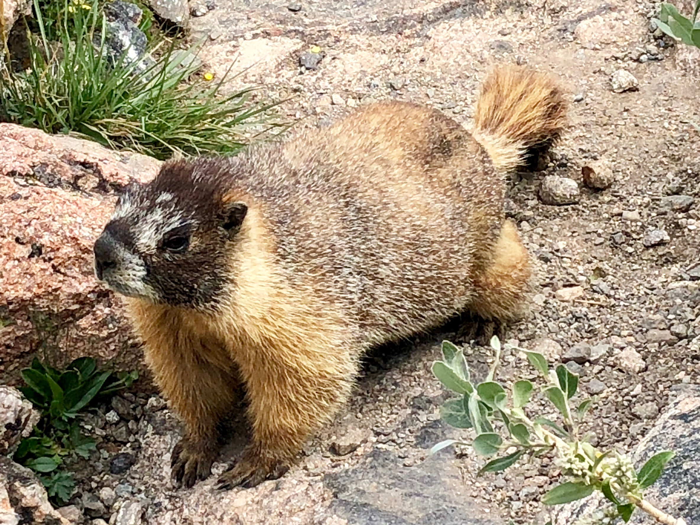 A very relaxed Marmot was waiting at the top of the waterfall to greet each person in hopes of a handout.