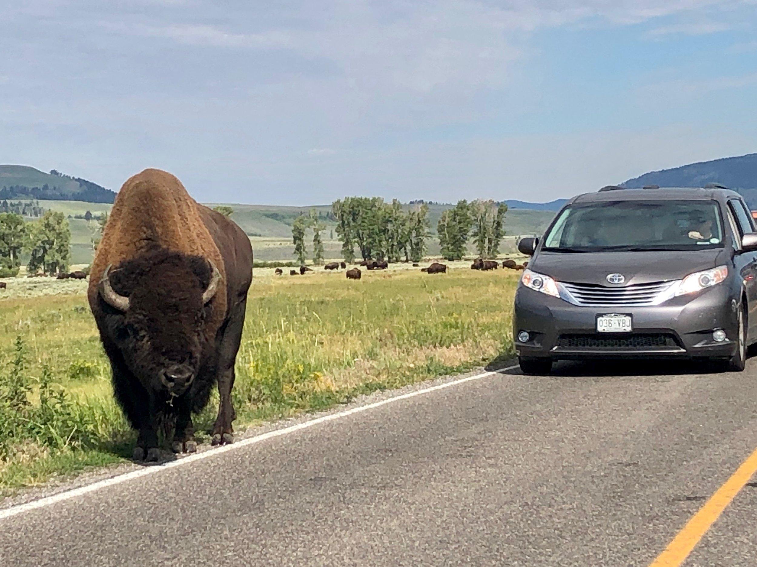 Bison directing traffic