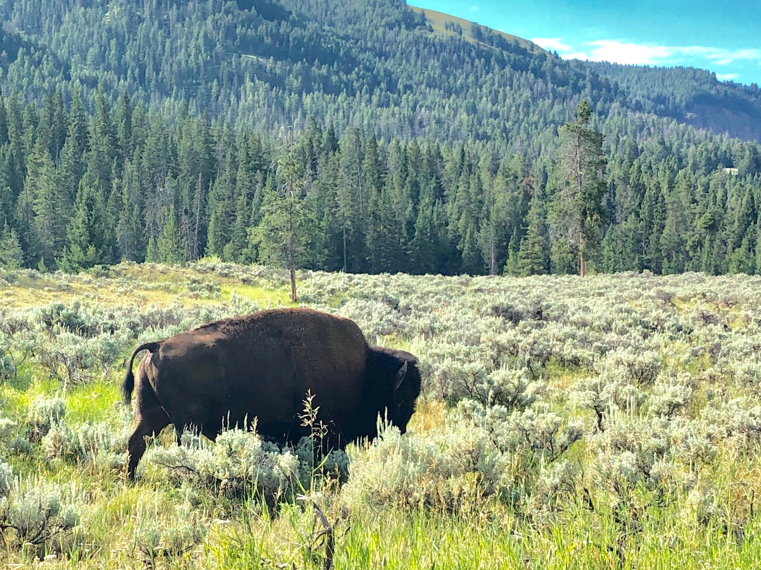 ...where the Buffalo roam....