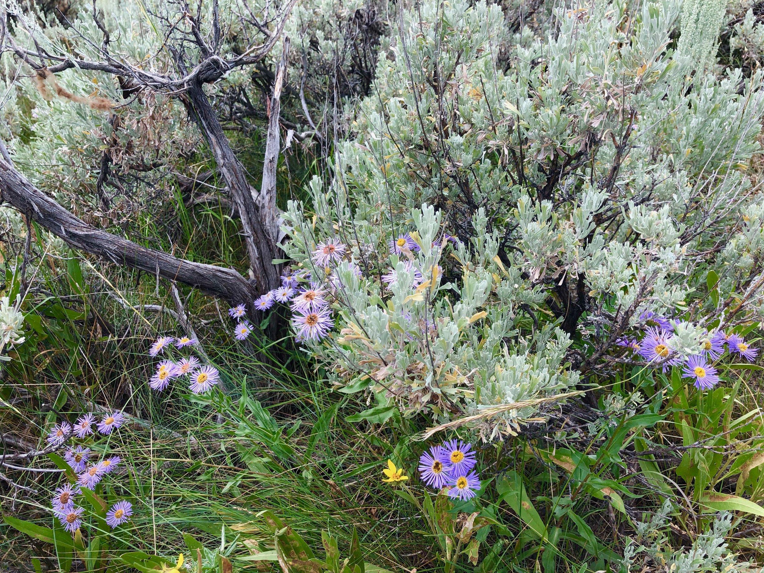 Sagebrush and wildflowers