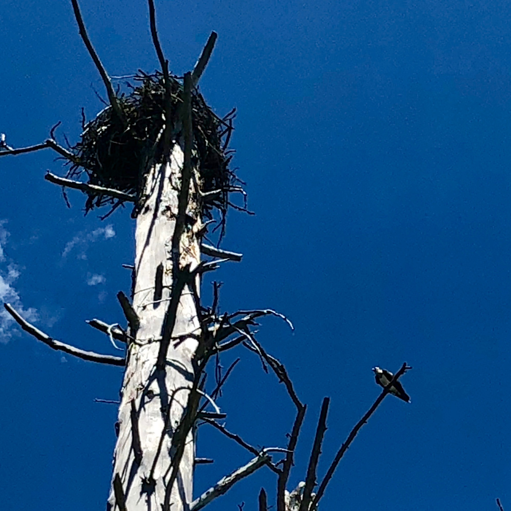 An Osprey and her nest