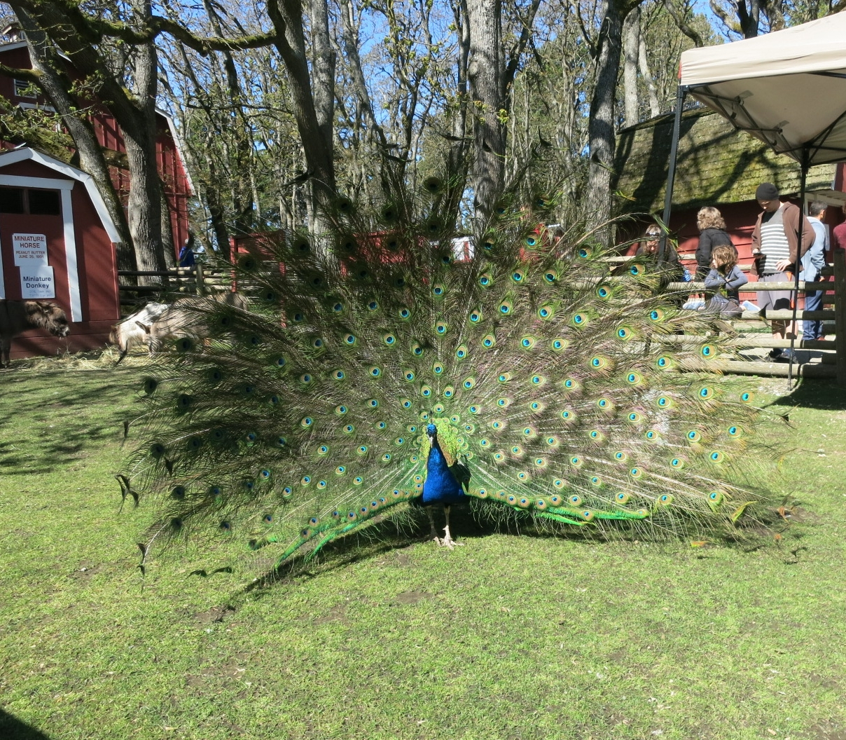 Stunning male peacock displaying his feathers