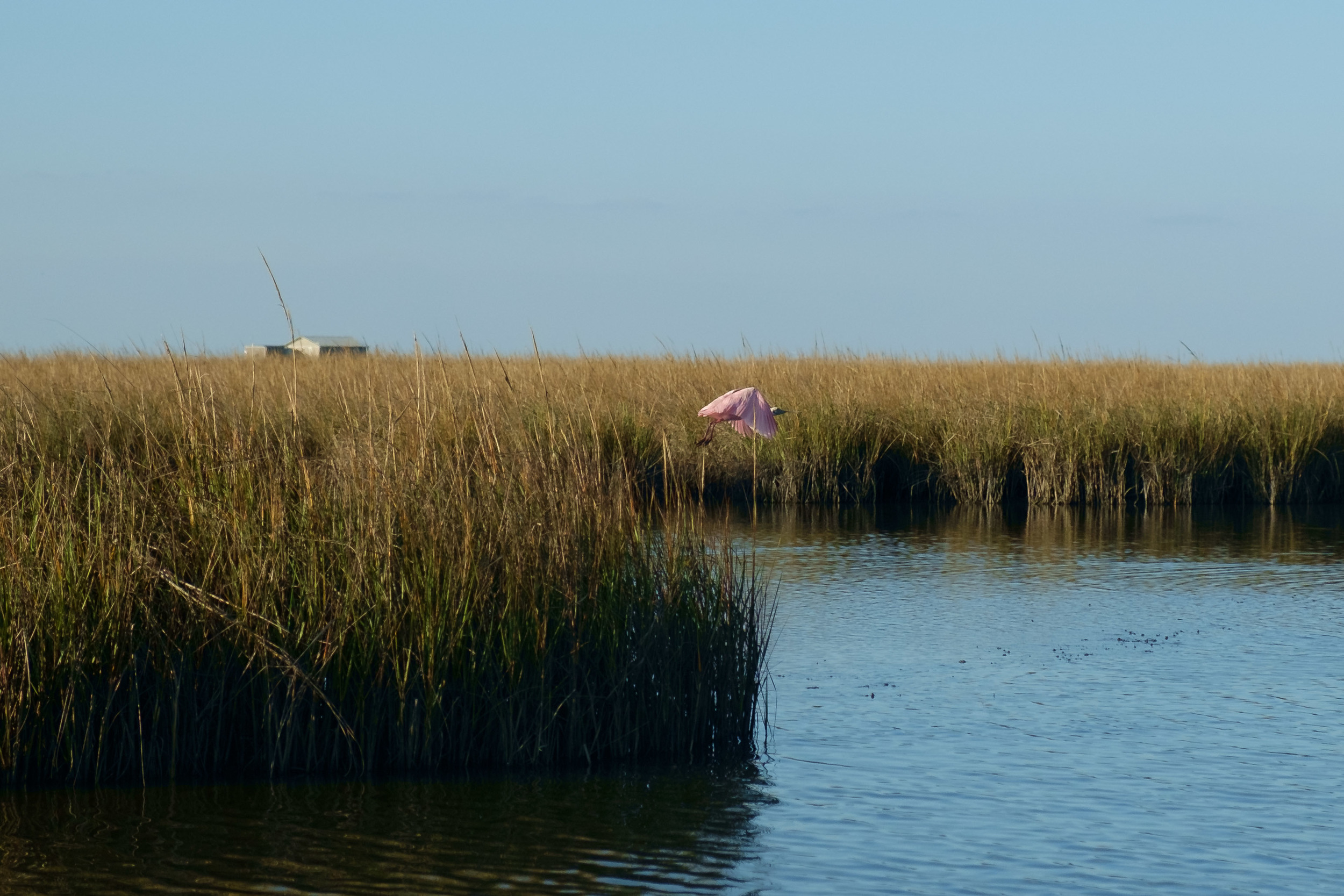 Almost got a great shot of a Roseate Spoonbill (Cajun Flamingo). Quite a few were around.