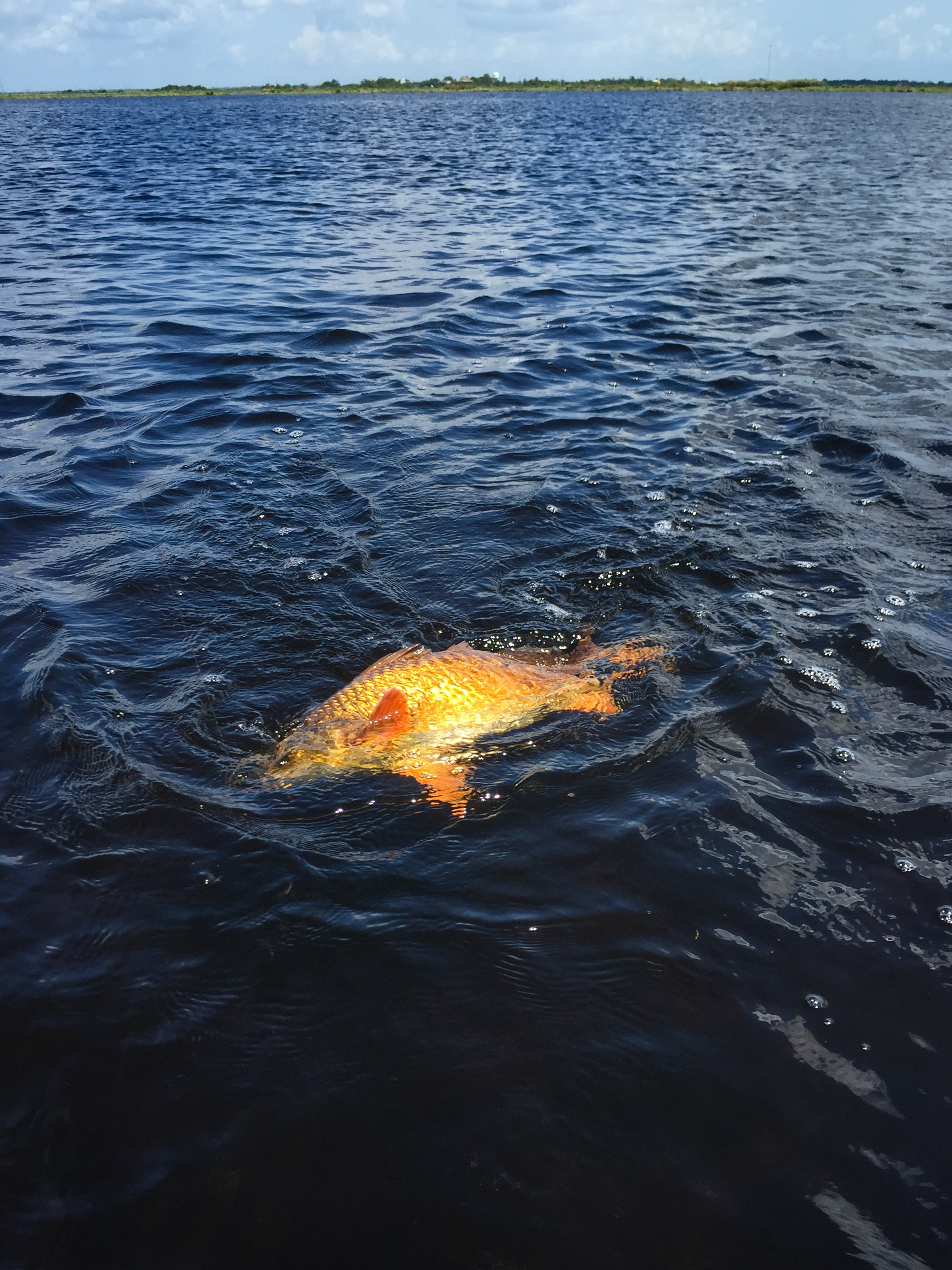 No color quite like the St. Bernard redfish. I always get a little disappointed when I catch redfish in other spots and they're more grey than red.