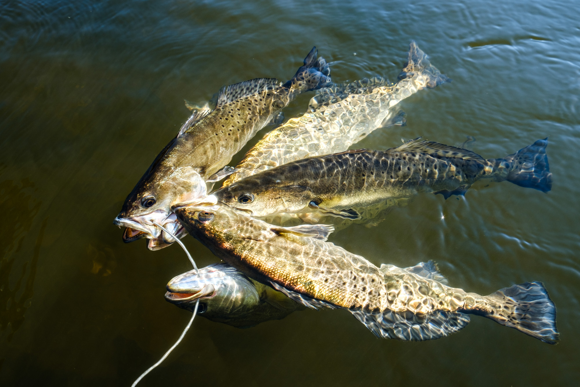 """Great size speckled trout for eating, in the 16-19"""" range."""