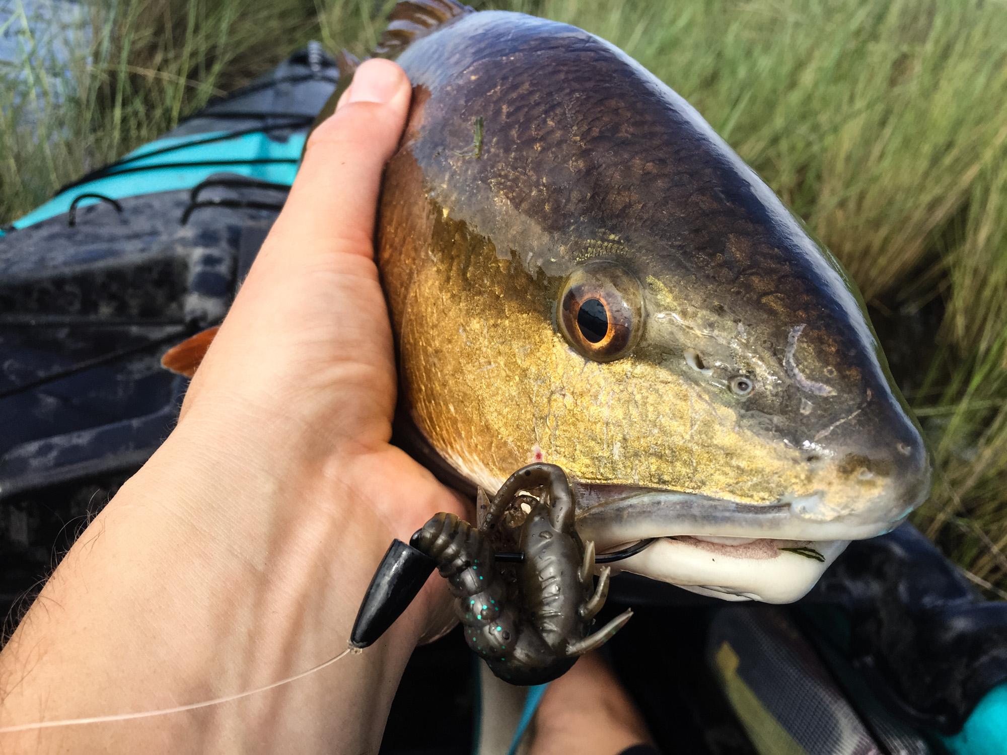 Louisiana marsh redfish caught on Zman Turbo Crawz while sight fishing in a kayak