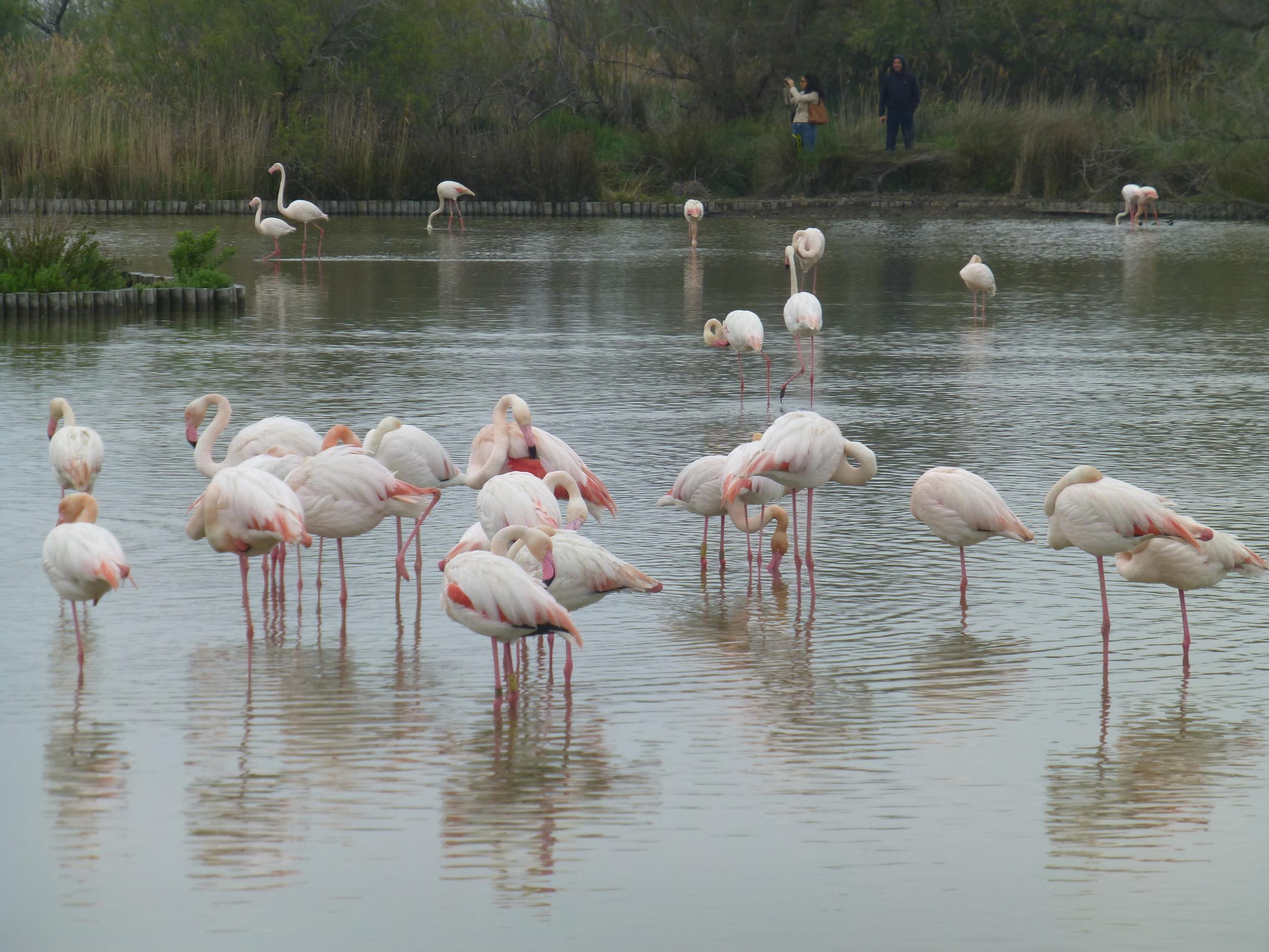 Carmargue Flamingoes