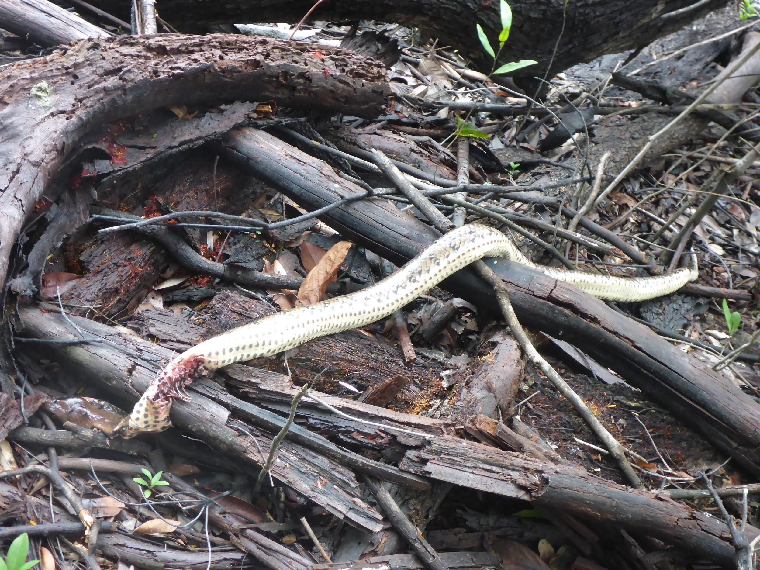 the dead anacondaa