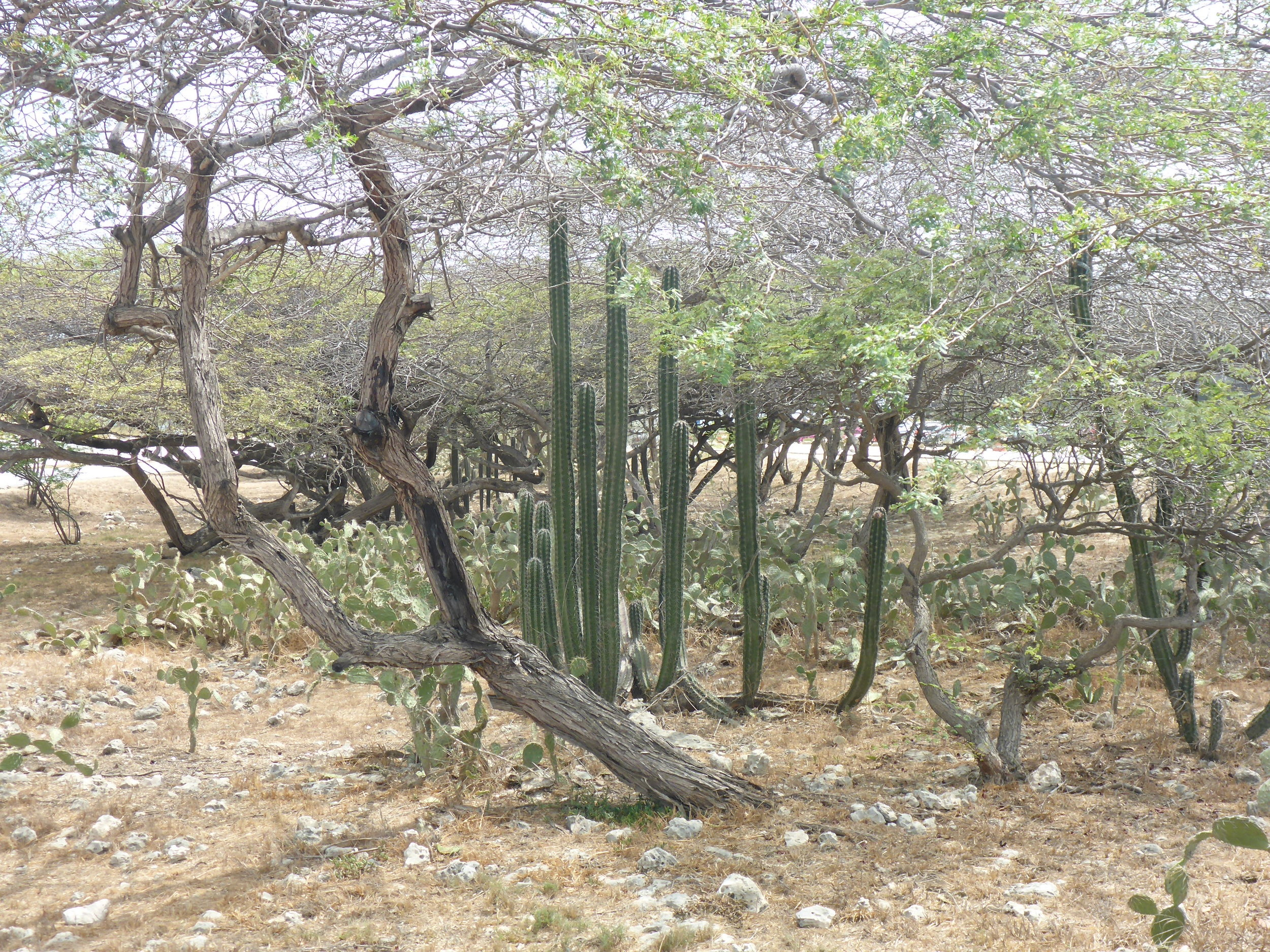 Aruban scrub - cacti and acacias
