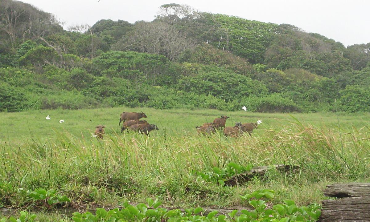 buffalos, and lots of them