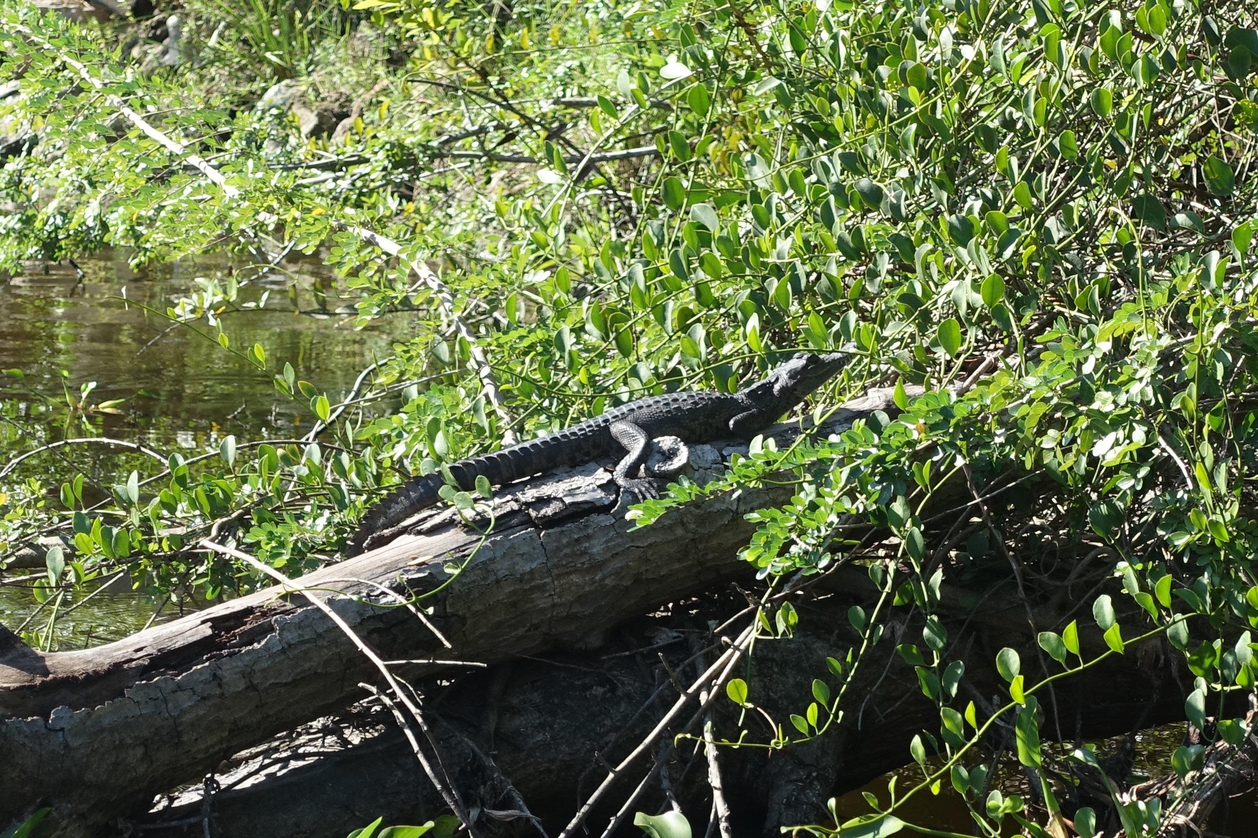 a (small) occasional crocodile