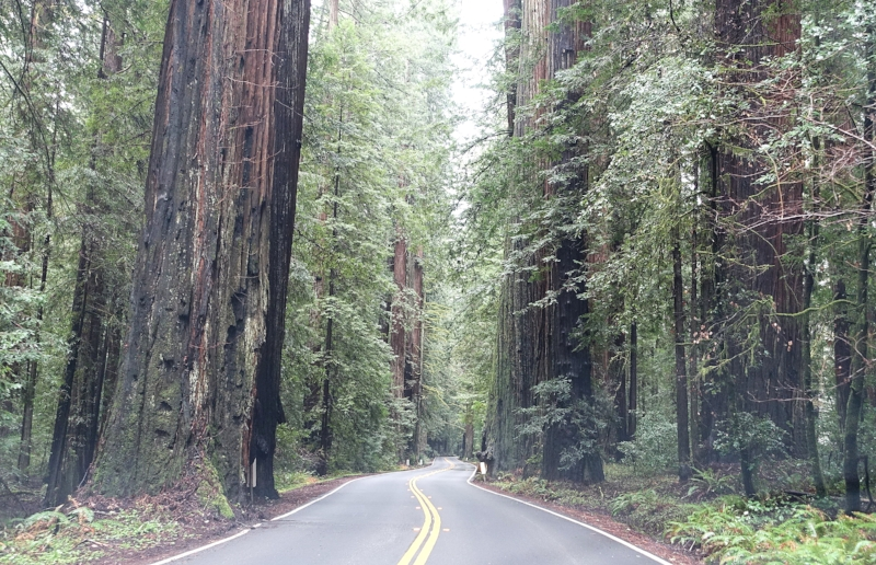 a foggy drive through the avenue of the giants