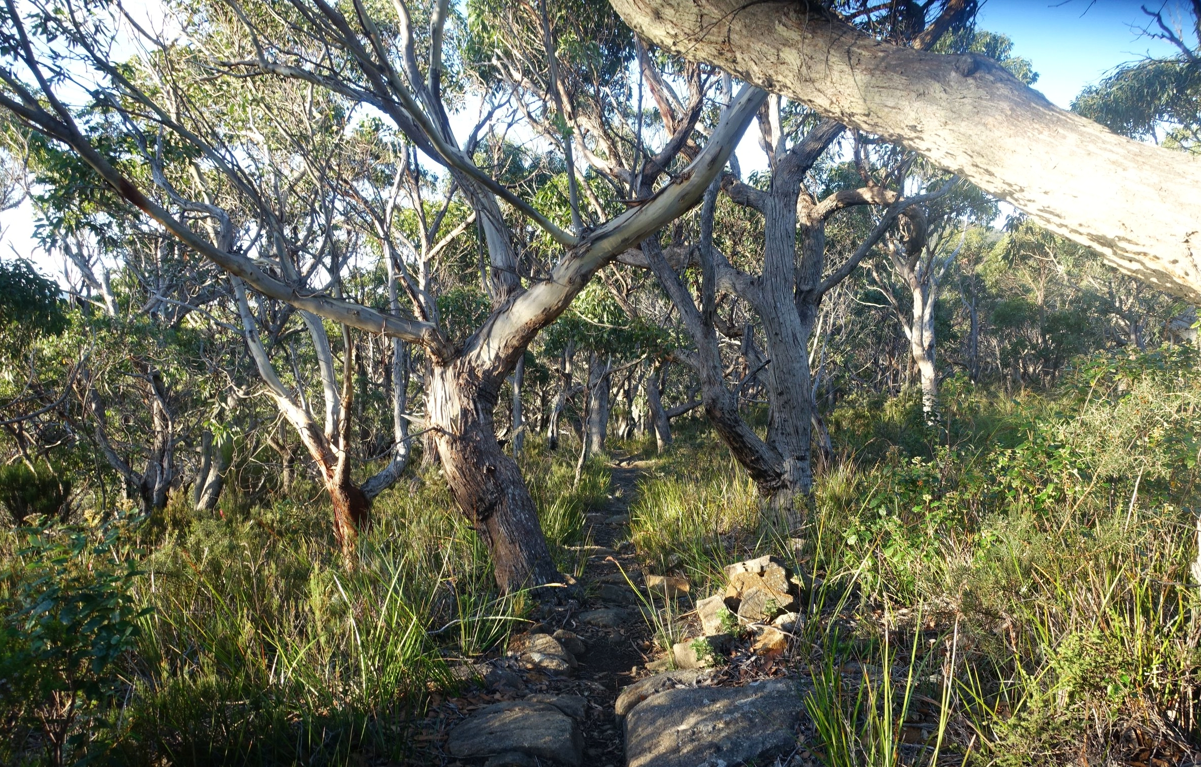 eucalypt forest on the old cape pillar track
