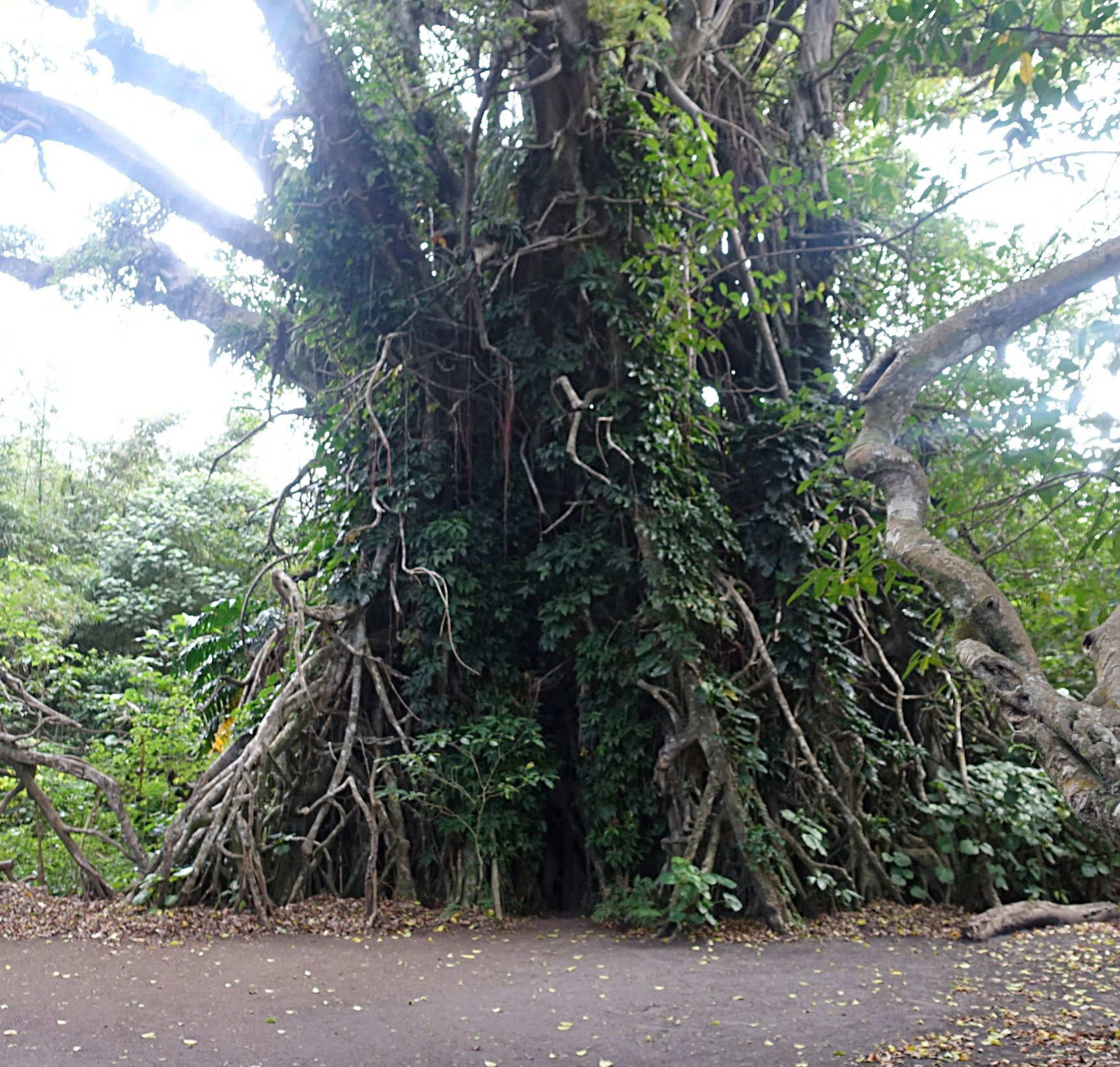 the fig tree entrance