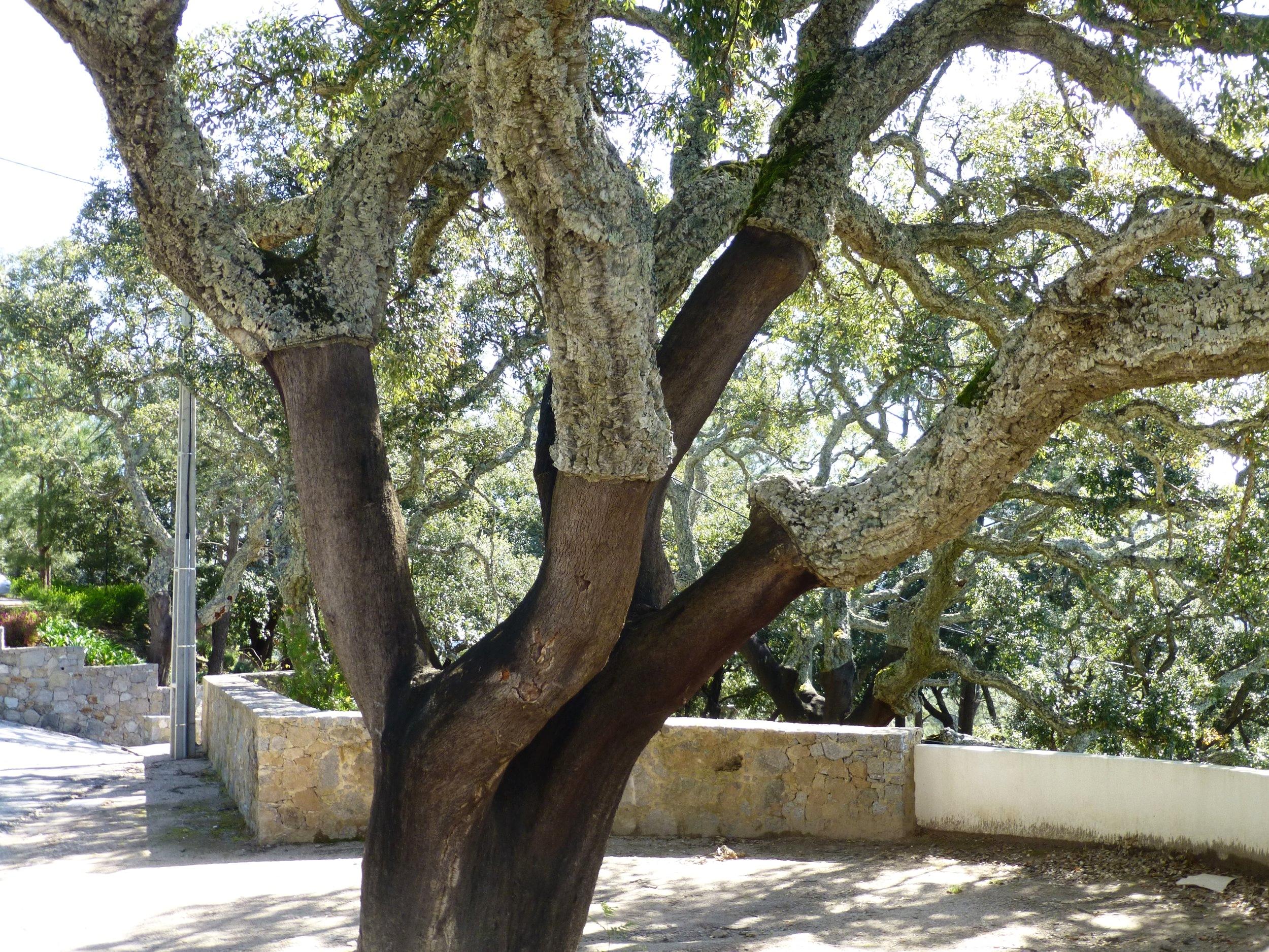 cork tree, algave