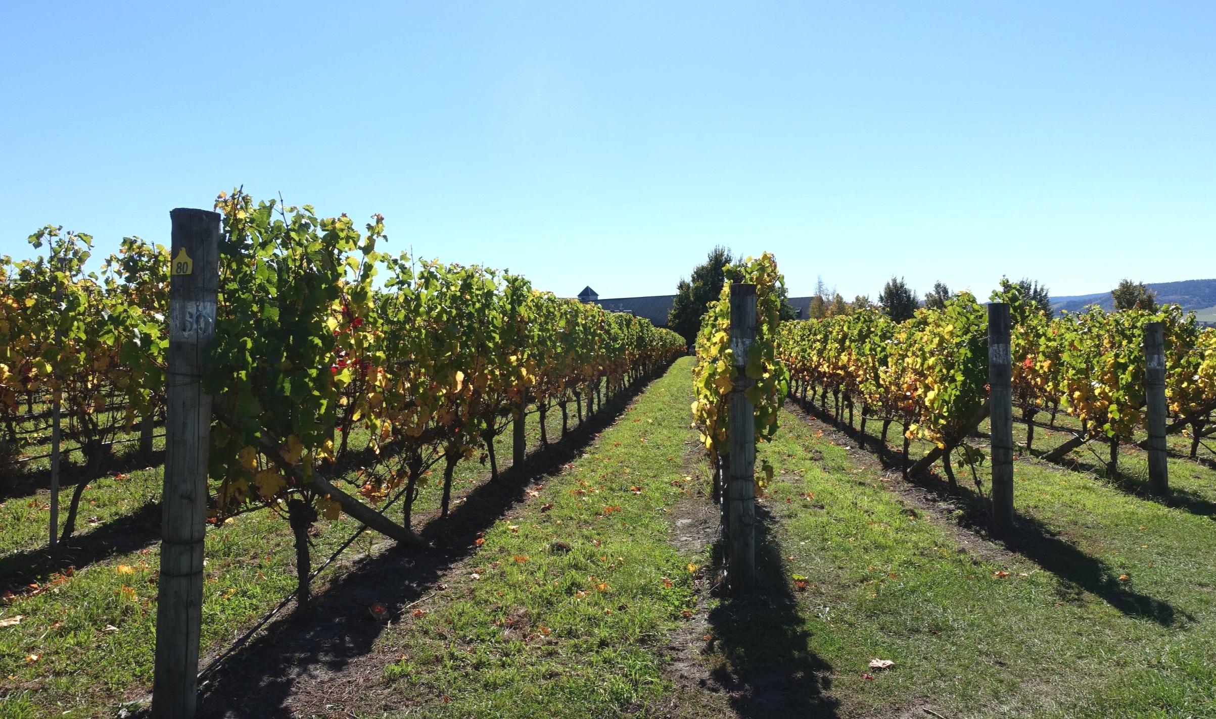 grape vines - coal river valley
