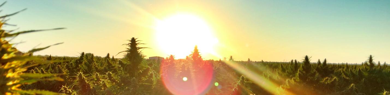 cannabis-farm-sunset