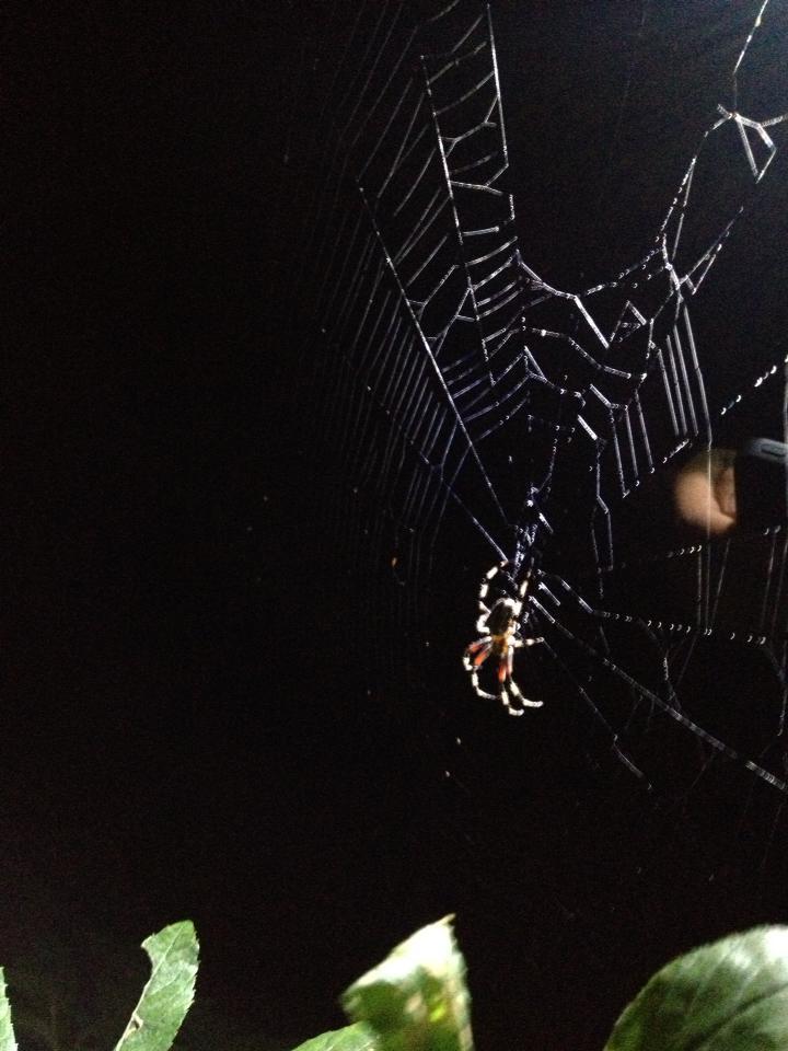 Beautiful Spider