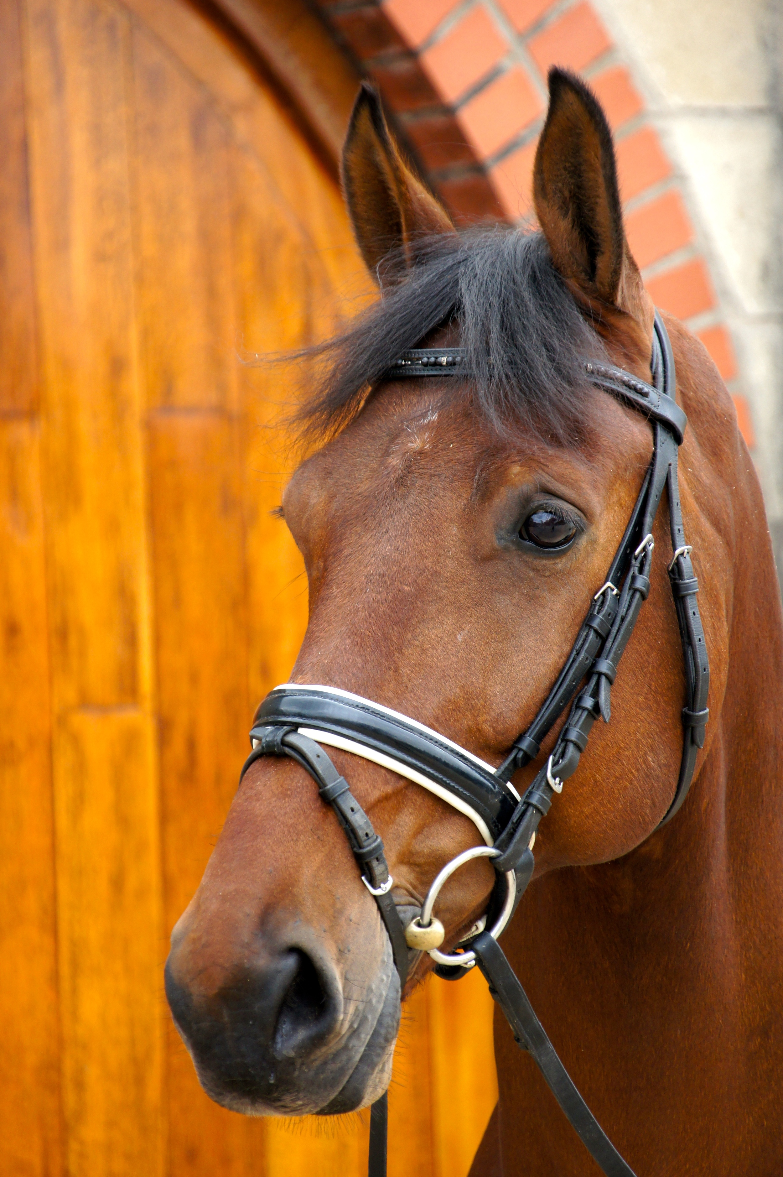 Zambo     Stable Name : Zambo  Colour : Bay  Height :16.3  Sex : Gelding  Sire : Krack C  Country of Origin :Holland  Year Foaled :2004  level : GP