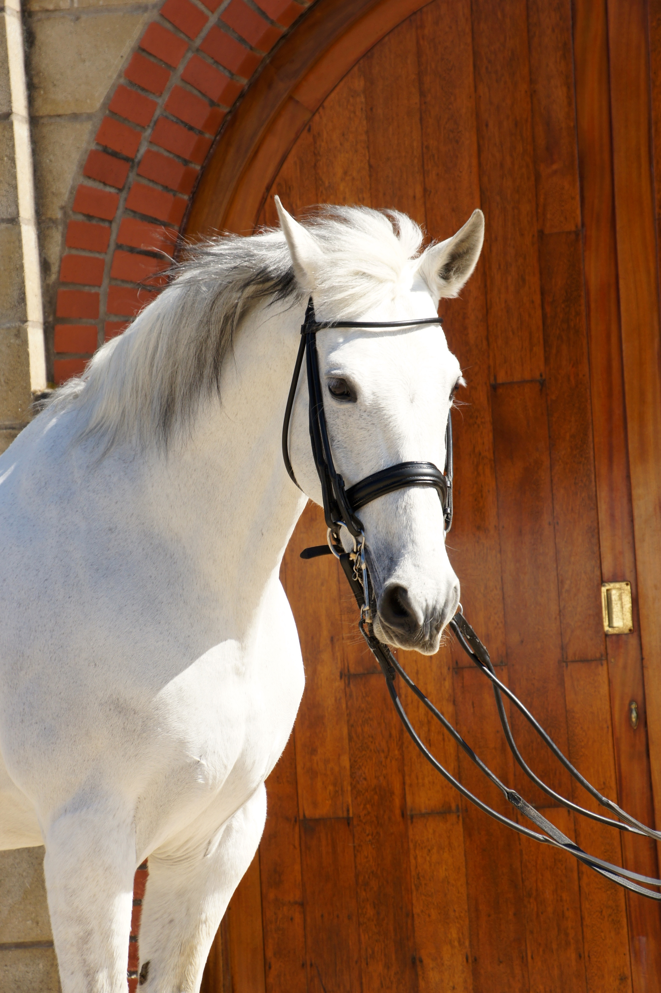 Hortelano XXV     Stable Name : Cookie  Colour : Grey  Height : 16.3  Sex : Gelding  Breeding :Andulusian  Country of Origin : Spain  Year Foaled :2001  level : Medium