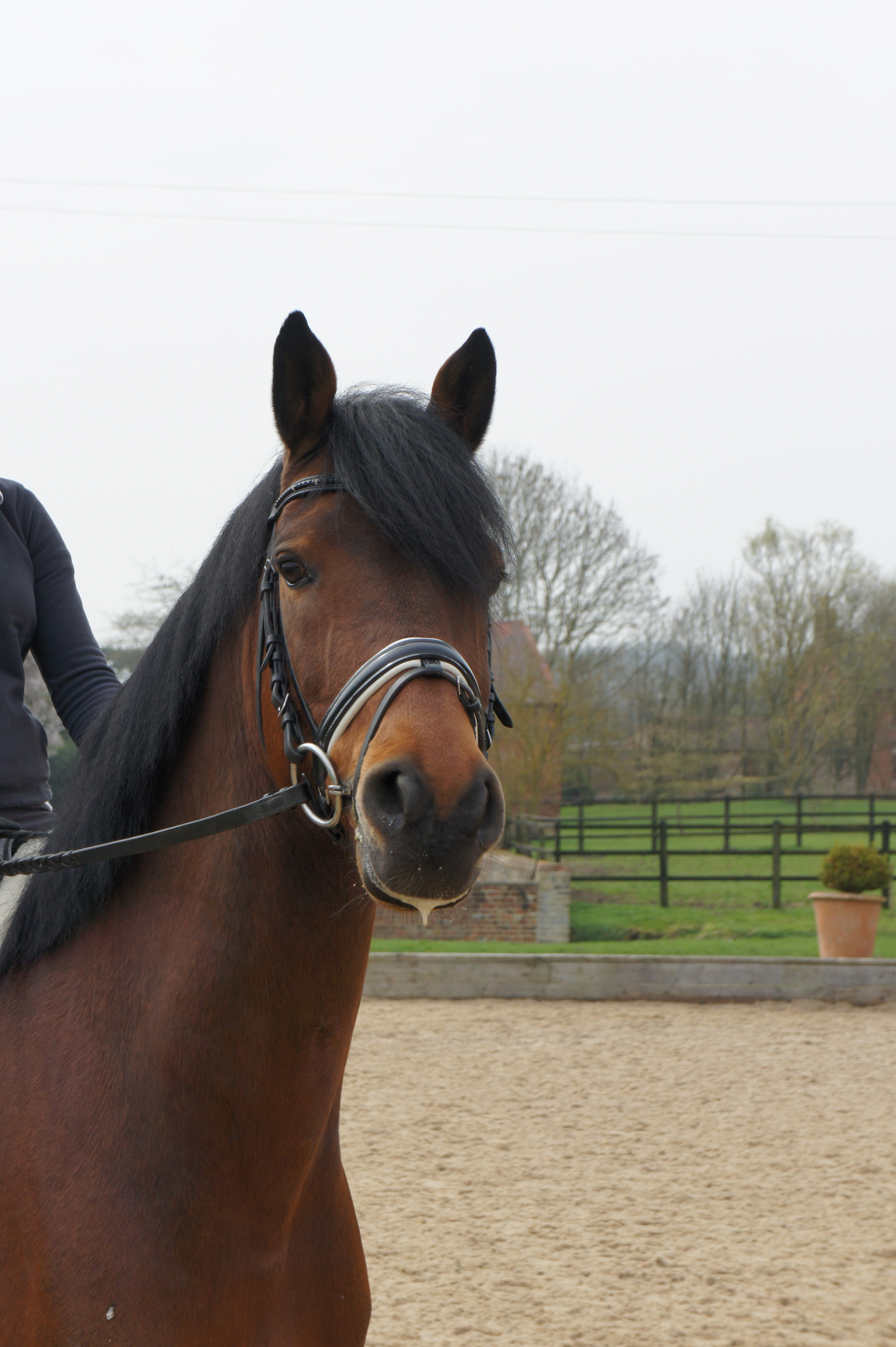 Bagel     Stable Name :Bagel  Colour : Bay  Height :16.0  Sex : Gelding  Country of Origin :Germany  Year Foaled :2003