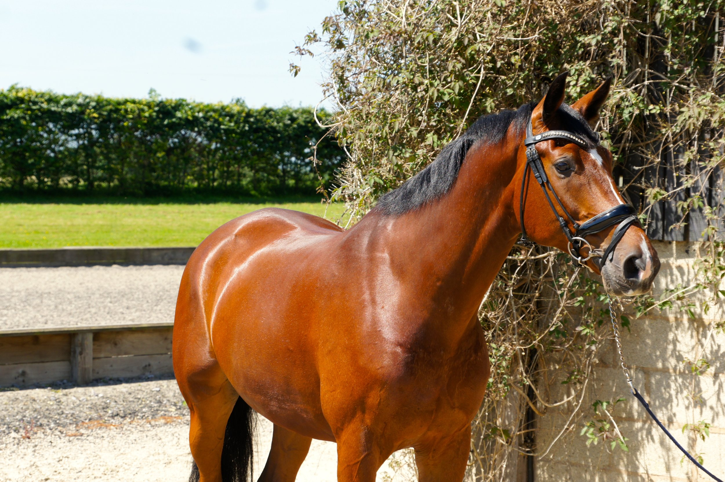 Grandio  Stable Name :George  Colour : Bay  Height : 16.2  Sex : Gelding  Breeding : Lord Leatherdale x Negro  Country of Origin :Holland  Year Foaled : 2011  Owner : Sam Forrest  Level :Elementary