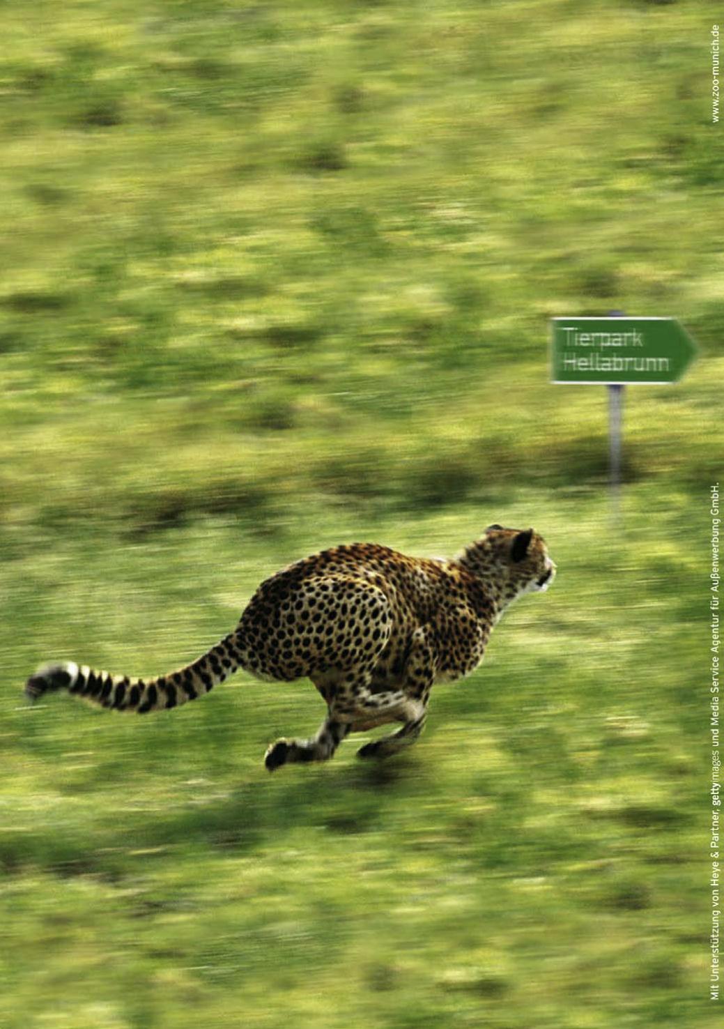 Tierpark Hellabrunn - Plakat Gepard - Wegweiser