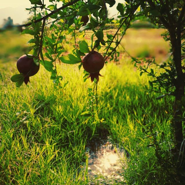 Favorite fruit growing away happily ❤️🌿☀️ . . . . #athomeintheworld #homewithin #pomegranate #caseforpomegranateemoji #hOMe #india