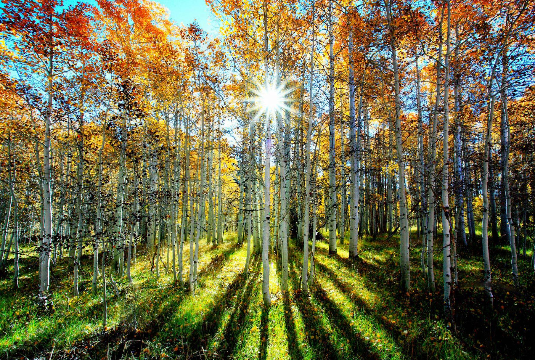 Rainbow Woods, Happy Aspens by Pacheco