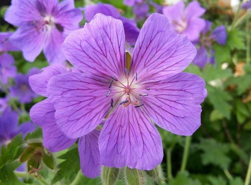 Purple Cranesbill Flower_500x369.jpg