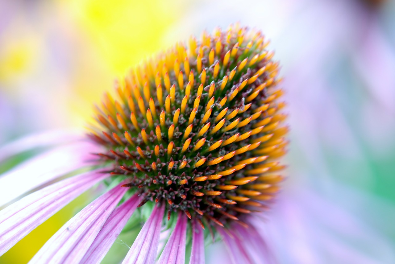 Echinacea_1280.jpg