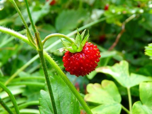 Wild Strawberry_500x375.jpg
