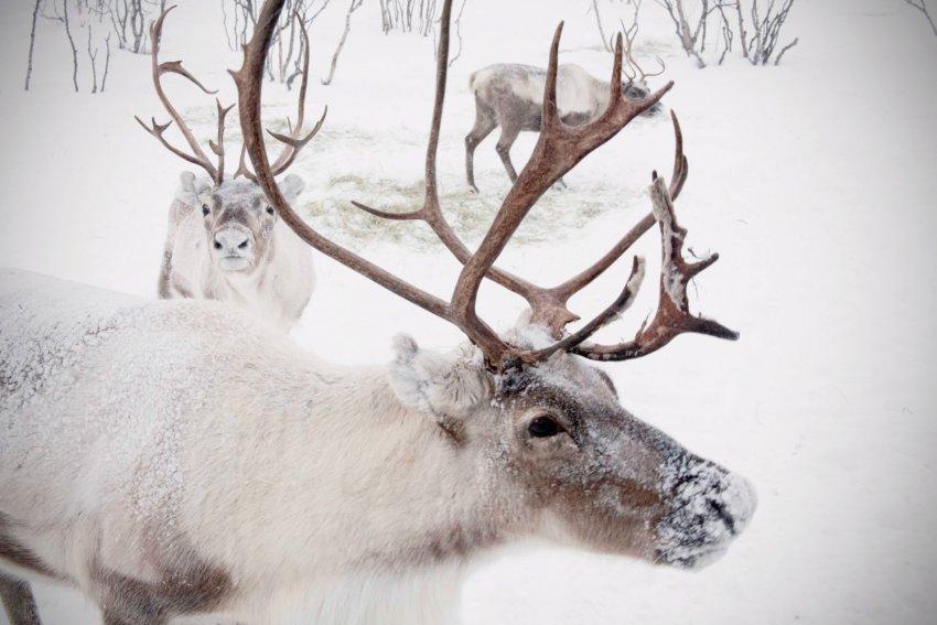 Reindeer 2.jpg