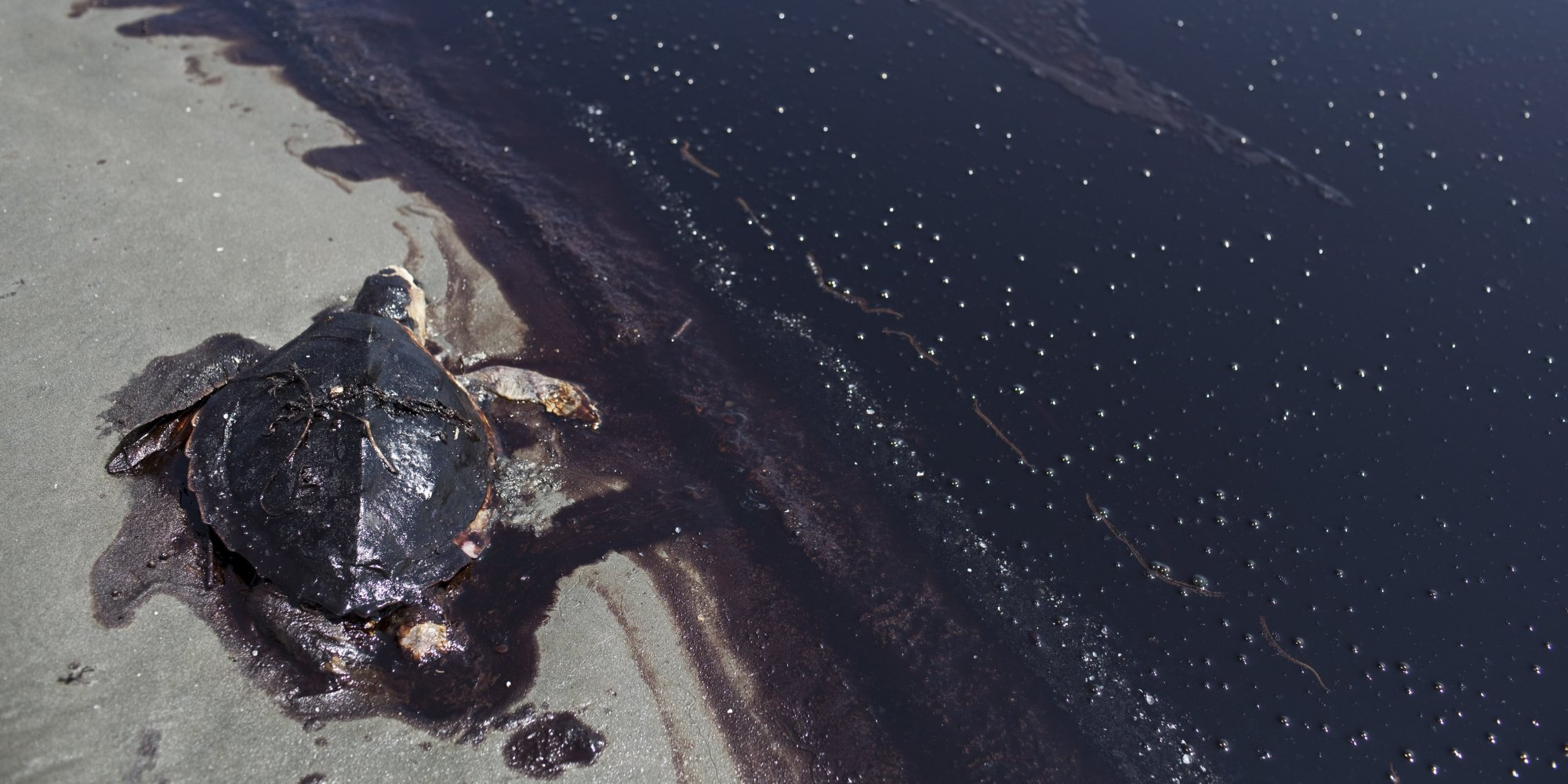 Turtle in Oil Spill.jpg