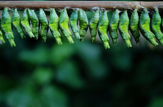 Row of Butterfly Cocoons_640.jpg