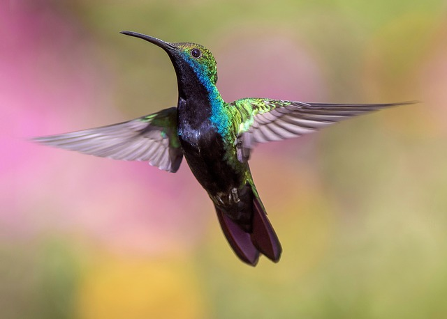 Hummingbird in Flight_640.jpg