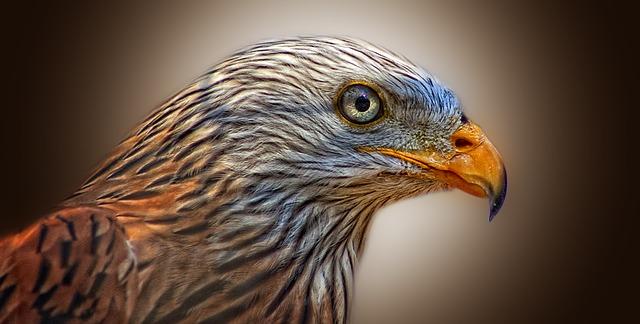 Red Kite Bird of Prey_640.jpg