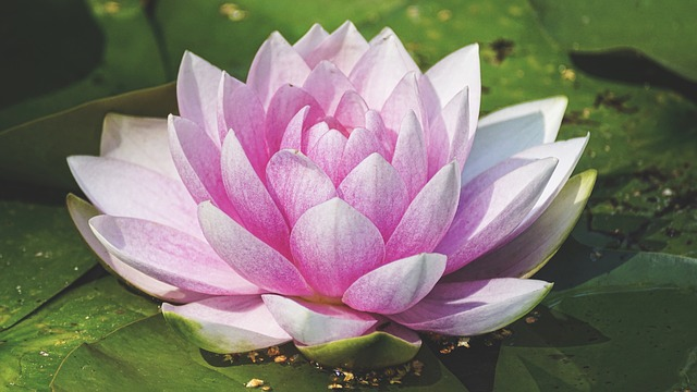 Water Lily_640.jpg