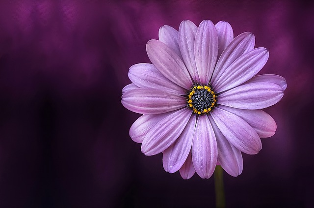 Purple Daisy_640.jpg