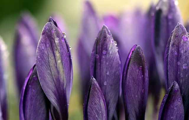 Purple Crocus_640x406.jpg