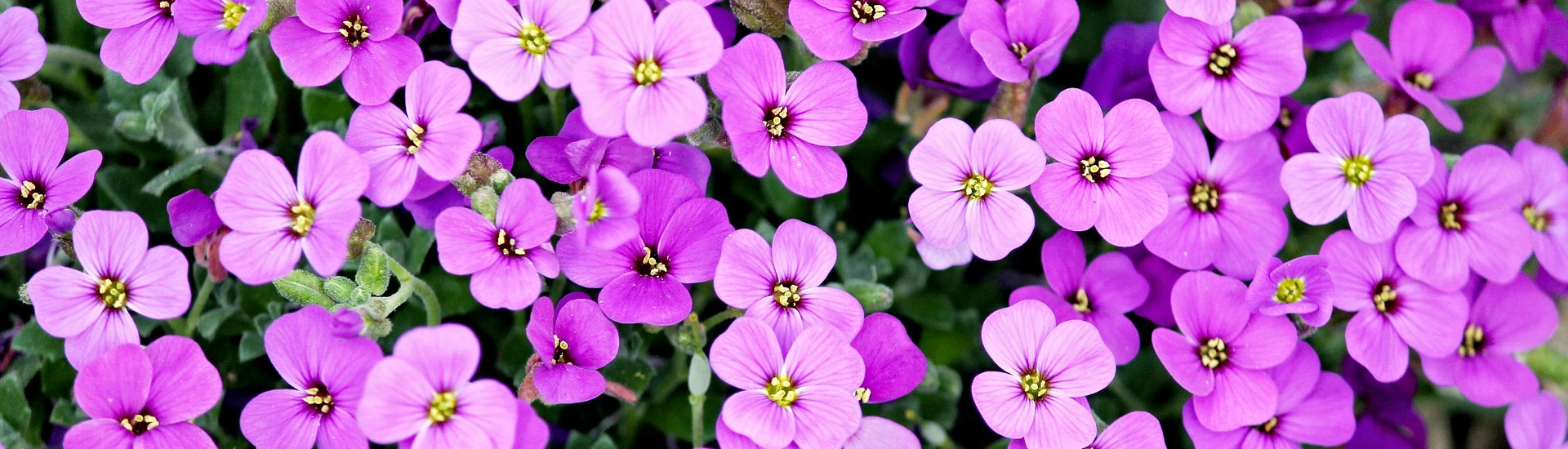 Purple Violet-Like Flowers_1920x550.jpg