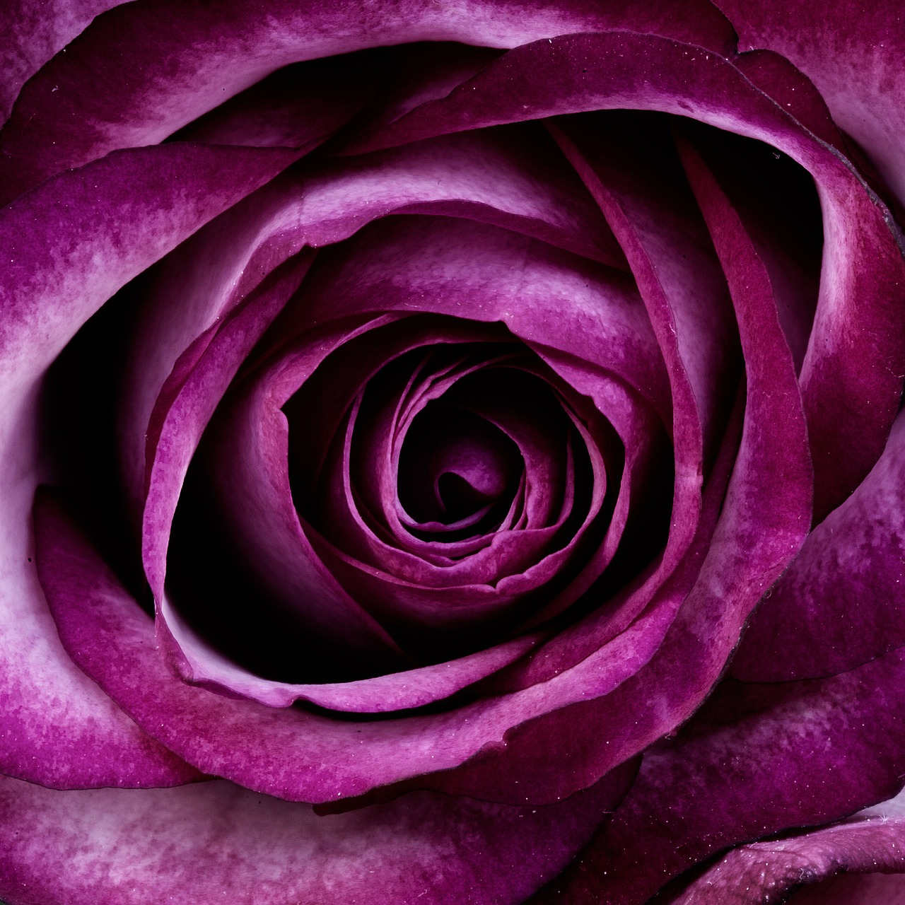 Purple Rose_1280.jpg