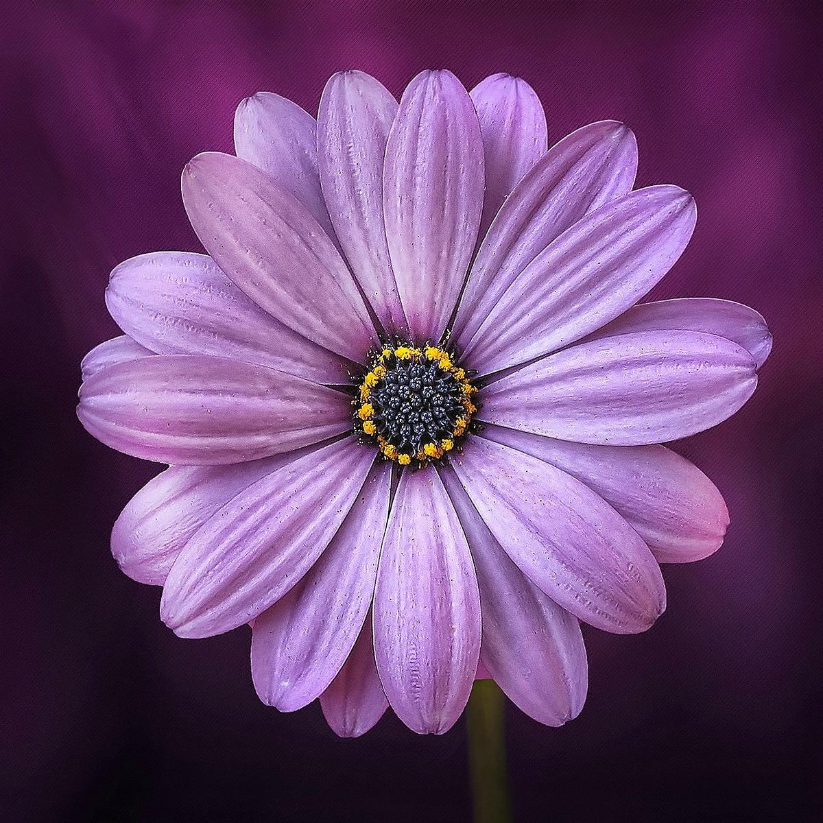 Purple Daisy_Square 1200x1200.jpg