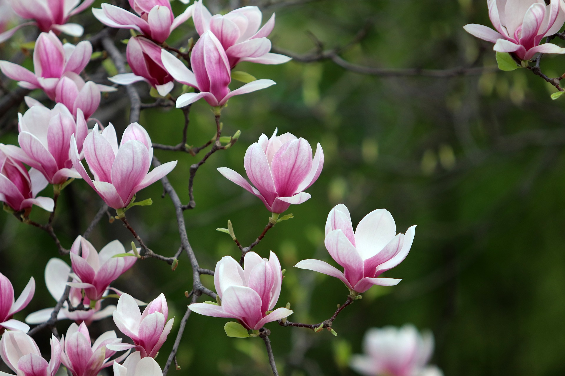 Magnolia Blossoms_1920.jpg