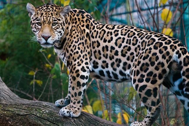 Jaguar_640.jpg