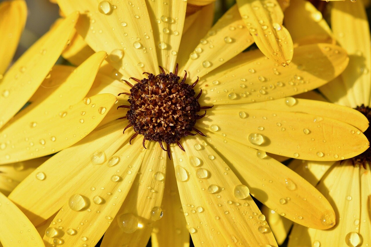 Yellow Flower Petals with Rain_1280.jpg