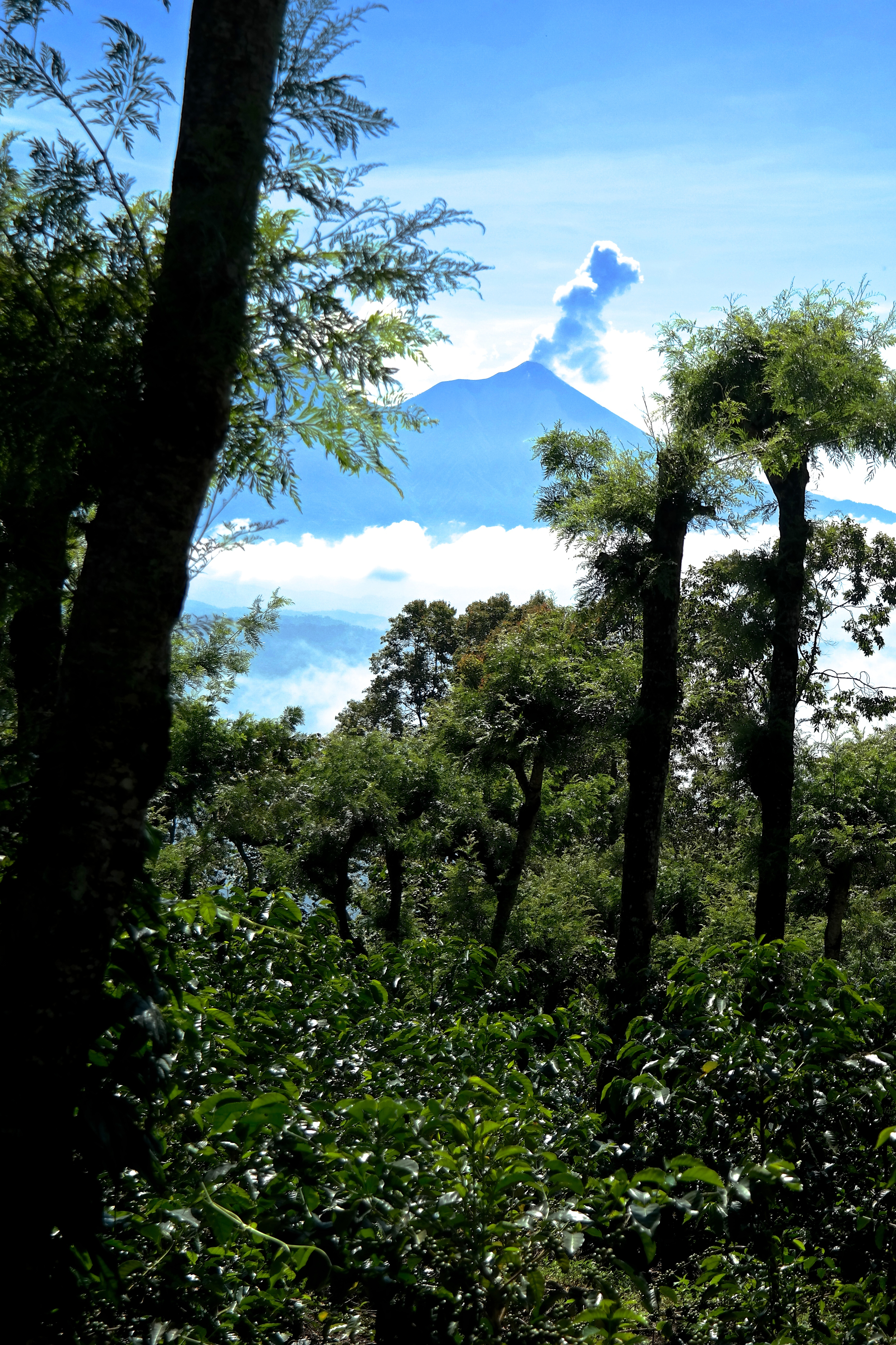 Geisha plants with Volcan Fuego in the background.