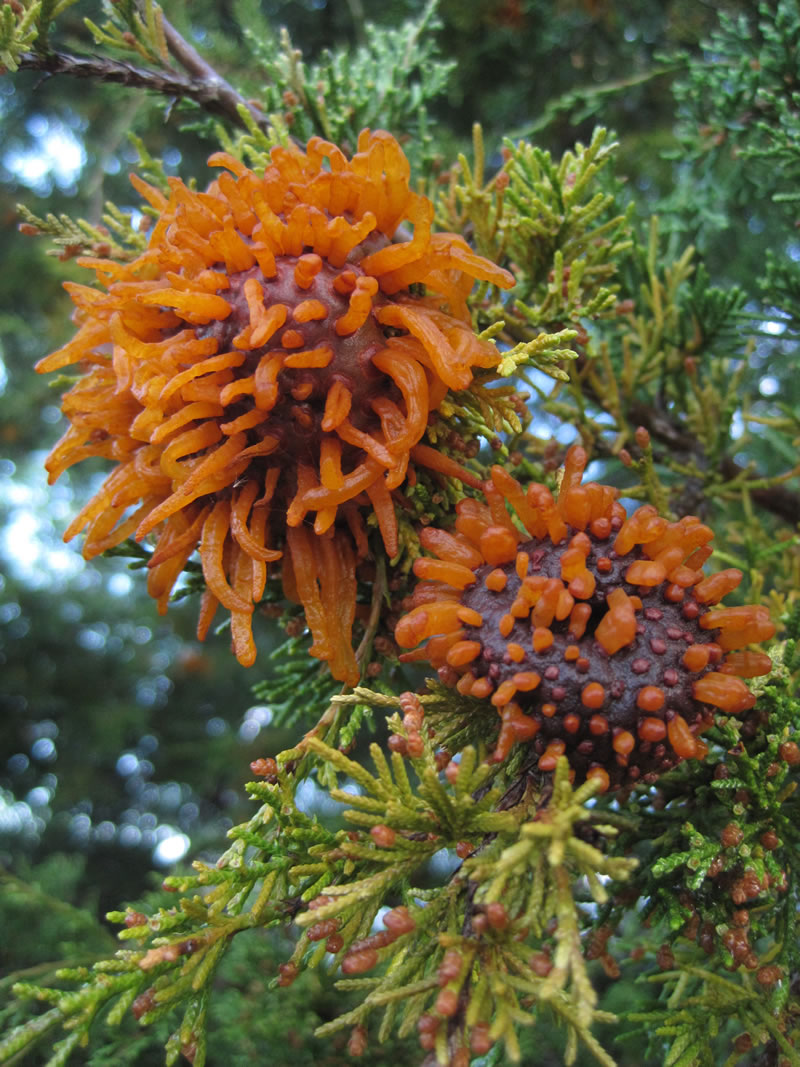 Cedar Apple Rust (Fresh teliohorns on redcedar (mid-March). Photo © 2012 David D. Taylor  SOURCE