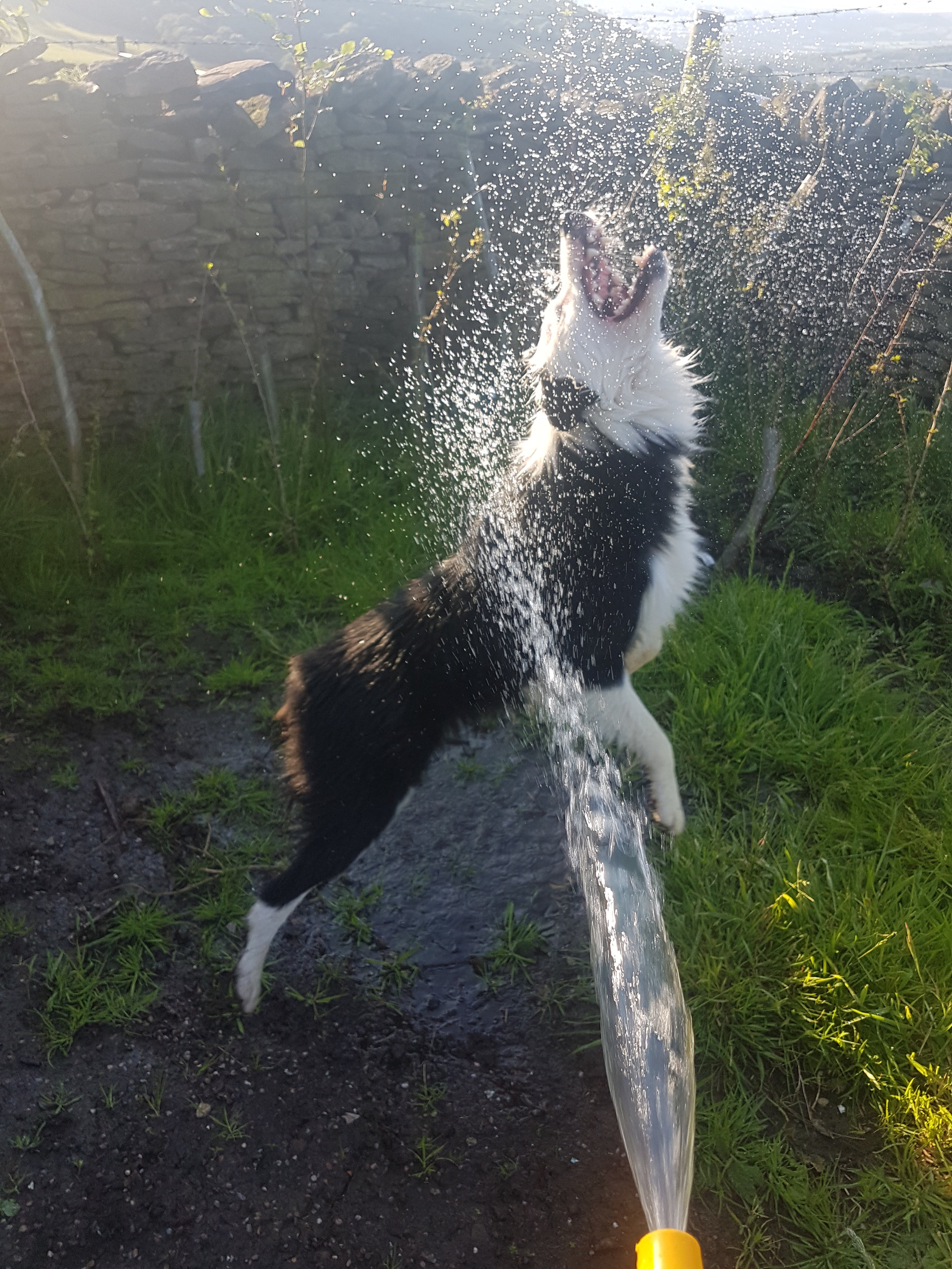 Mishka the Border Collie is a Good Happy Dog. Here he is catching water from the hosepipe